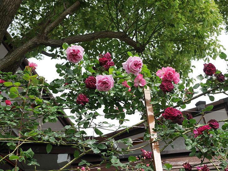 ローズ・ポンパドゥール(Rose Pompadour)の花が増えてきた。半ツルバラ。2021年-059.jpg