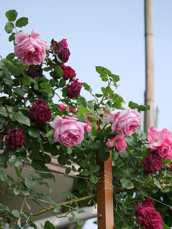 ローズ・ポンパドゥール(Rose Pompadour)の花が増えてきた。半ツルバラ。2021年-060.jpg