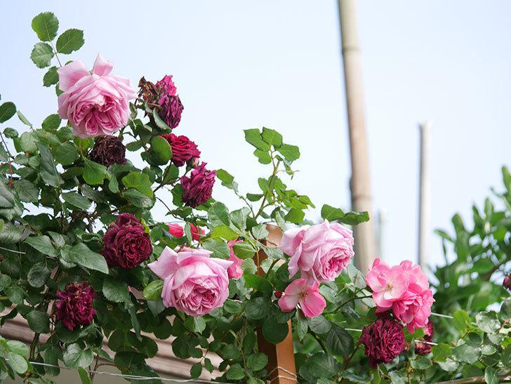 ローズ・ポンパドゥール(Rose Pompadour)の花が増えてきた。半ツルバラ。2021年-061.jpg