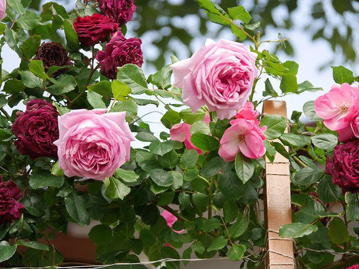 ローズ・ポンパドゥール(Rose Pompadour)の花が増えてきた。半ツルバラ。2021年-062.jpg