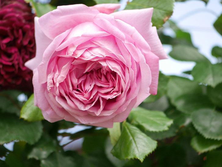 ローズ・ポンパドゥール(Rose Pompadour)の花が増えてきた。半ツルバラ。2021年-063.jpg