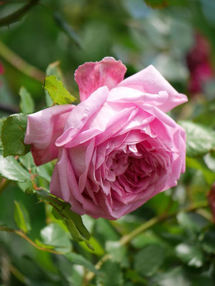 ローズ・ポンパドゥール(Rose Pompadour)の花が増えてきた。半ツルバラ。2021年-065.jpg