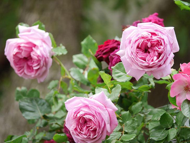 ローズ・ポンパドゥール(Rose Pompadour)の花が増えてきた。半ツルバラ。2021年-066.jpg