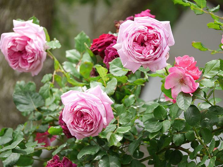 ローズ・ポンパドゥール(Rose Pompadour)の花が増えてきた。半ツルバラ。2021年-067.jpg