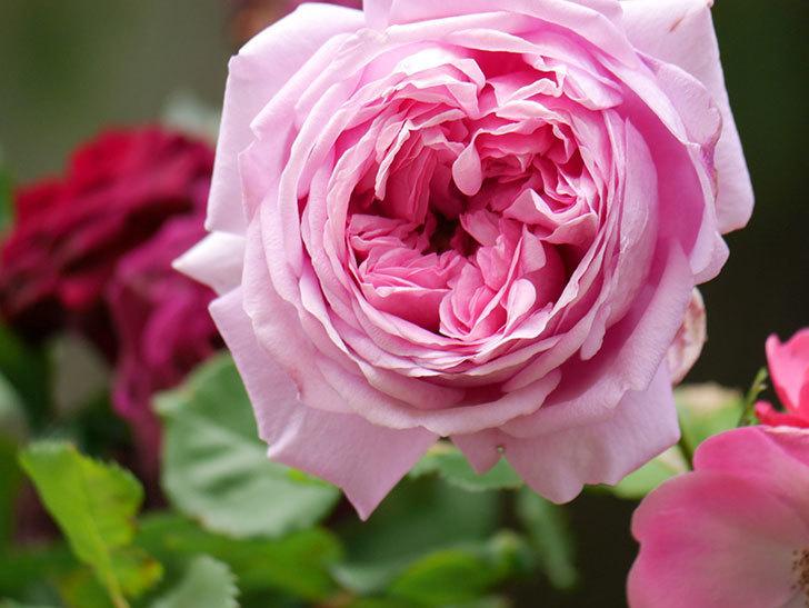 ローズ・ポンパドゥール(Rose Pompadour)の花が増えてきた。半ツルバラ。2021年-068.jpg