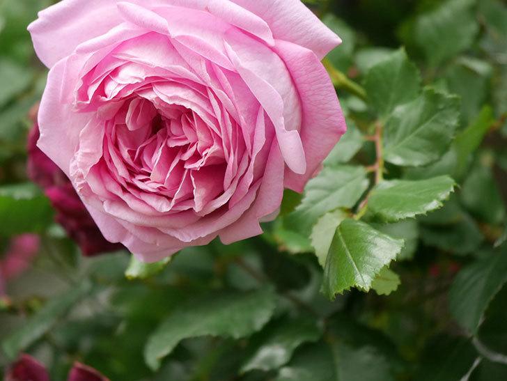 ローズ・ポンパドゥール(Rose Pompadour)の花が増えてきた。半ツルバラ。2021年-069.jpg
