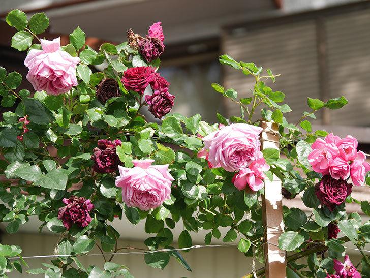 ローズ・ポンパドゥール(Rose Pompadour)の花が増えてきた。半ツルバラ。2021年-070.jpg