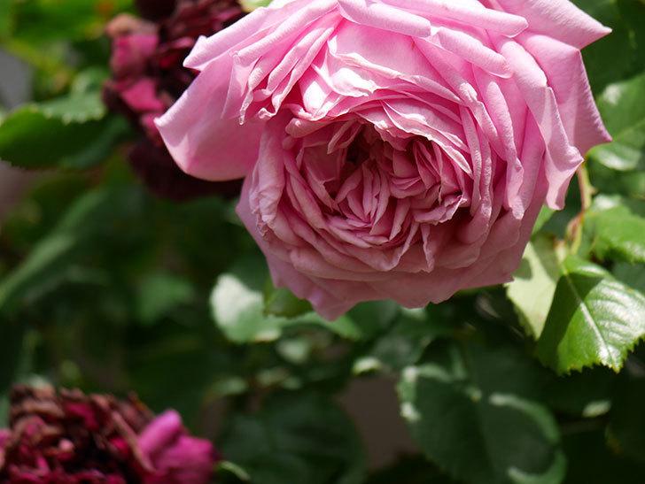 ローズ・ポンパドゥール(Rose Pompadour)の花が増えてきた。半ツルバラ。2021年-072.jpg