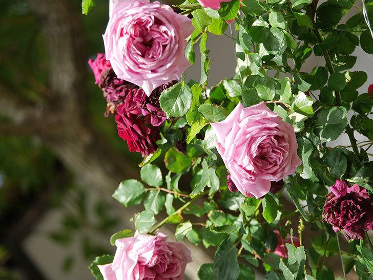 ローズ・ポンパドゥール(Rose Pompadour)の花が増えてきた。半ツルバラ。2021年-073.jpg