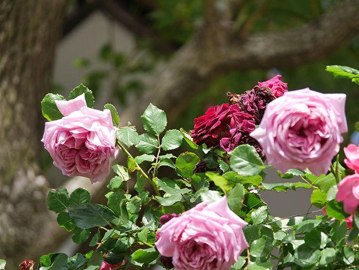 ローズ・ポンパドゥール(Rose Pompadour)の花が増えてきた。半ツルバラ。2021年-074.jpg