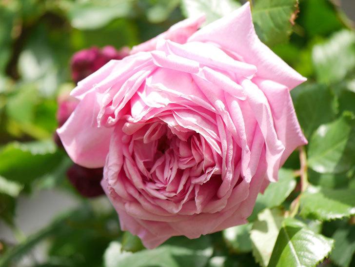 ローズ・ポンパドゥール(Rose Pompadour)の花が増えてきた。半ツルバラ。2021年-075.jpg