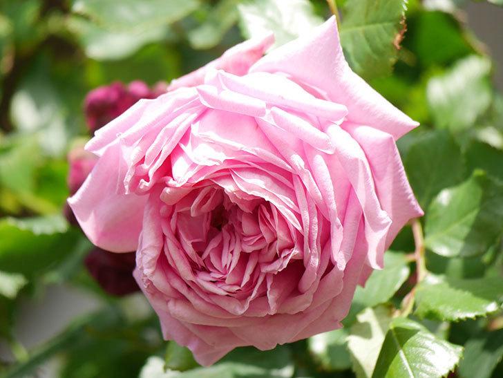 ローズ・ポンパドゥール(Rose Pompadour)の花が増えてきた。半ツルバラ。2021年-076.jpg