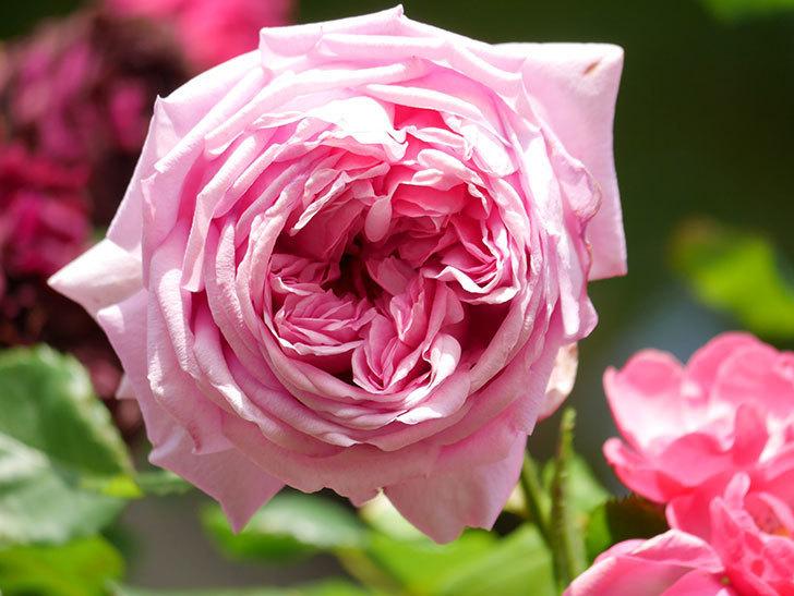 ローズ・ポンパドゥール(Rose Pompadour)の花が増えてきた。半ツルバラ。2021年-077.jpg
