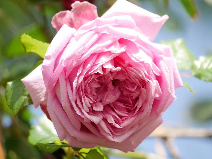 ローズ・ポンパドゥール(Rose Pompadour)の花が増えてきた。半ツルバラ。2021年-078.jpg