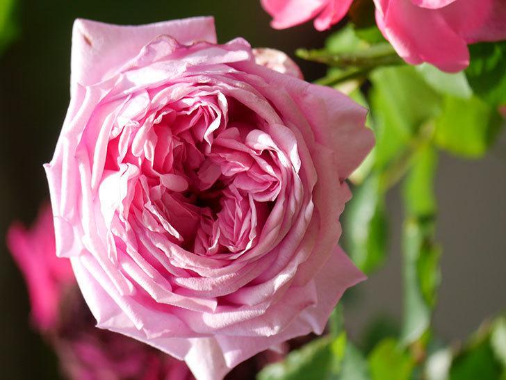ローズ・ポンパドゥール(Rose Pompadour)の花が増えてきた。半ツルバラ。2021年-079.jpg