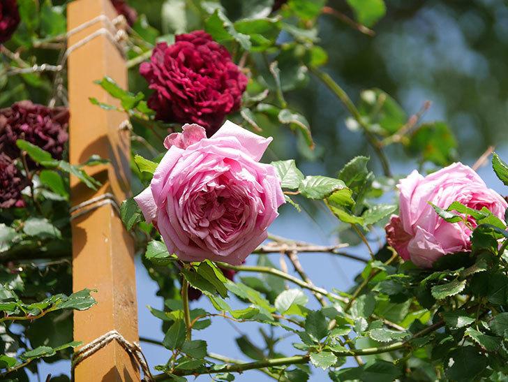 ローズ・ポンパドゥール(Rose Pompadour)の花が増えてきた。半ツルバラ。2021年-081.jpg