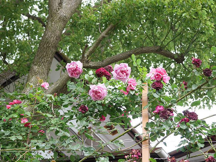 ローズ・ポンパドゥール(Rose Pompadour)の花が増えてきた。半ツルバラ。2021年-082.jpg