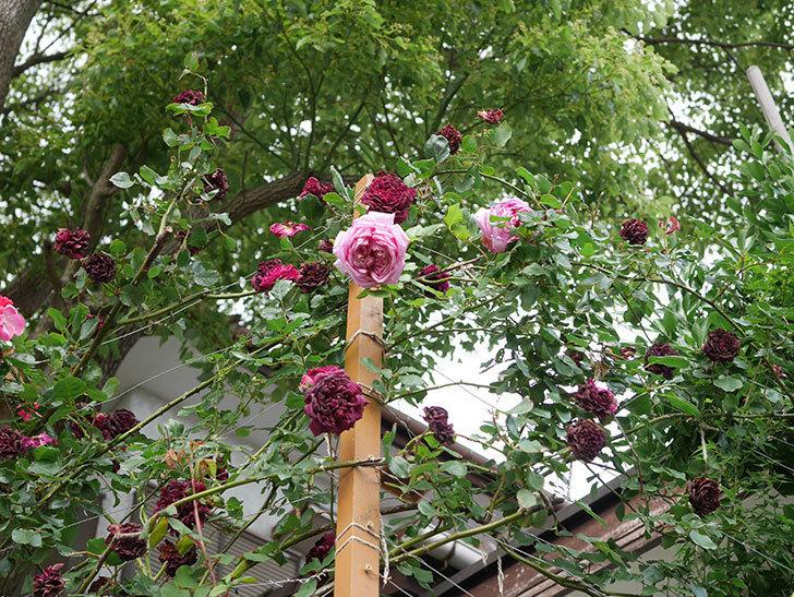 ローズ・ポンパドゥール(Rose Pompadour)の花が増えてきた。半ツルバラ。2021年-083.jpg