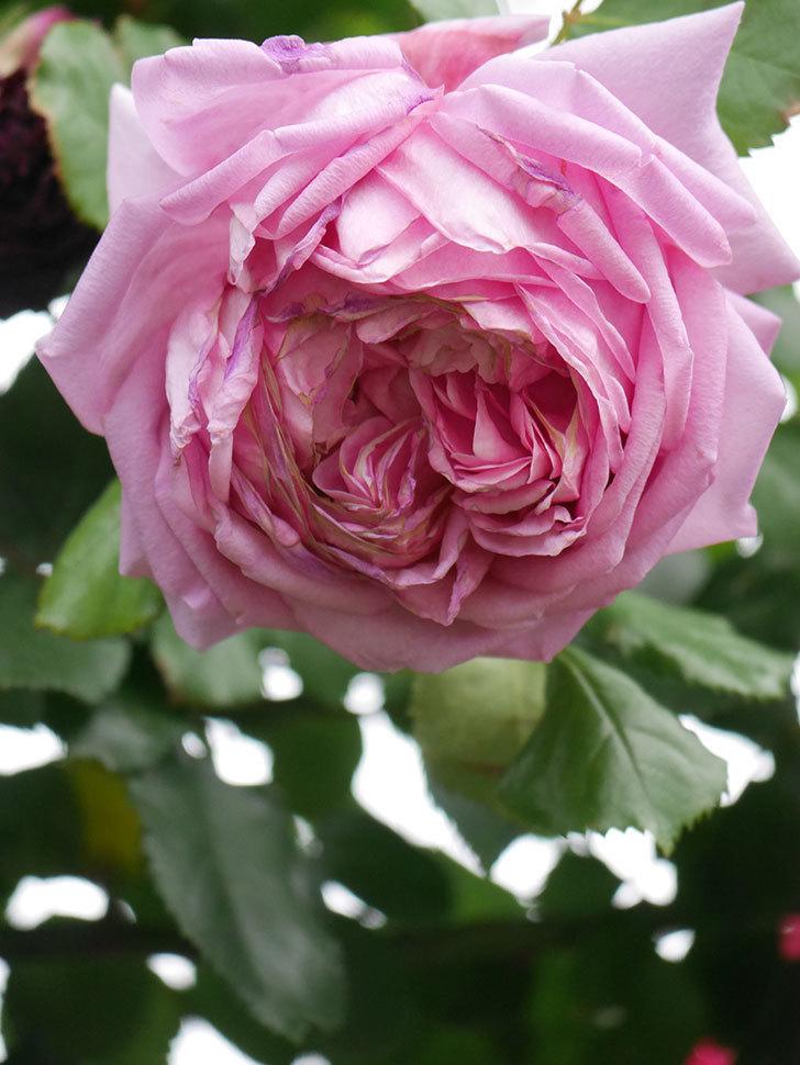 ローズ・ポンパドゥール(Rose Pompadour)の花が増えてきた。半ツルバラ。2021年-084.jpg