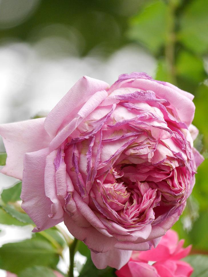 ローズ・ポンパドゥール(Rose Pompadour)の花が増えてきた。半ツルバラ。2021年-085.jpg