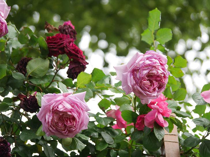 ローズ・ポンパドゥール(Rose Pompadour)の花が増えてきた。半ツルバラ。2021年-086.jpg