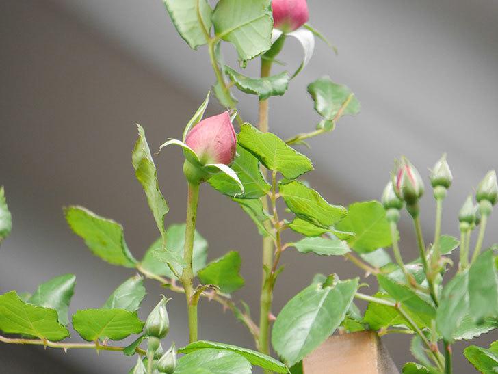 ローズ・ポンパドゥール(Rose Pompadour)の蕾が膨らんで来た。半ツルバラ。2021年-003.jpg