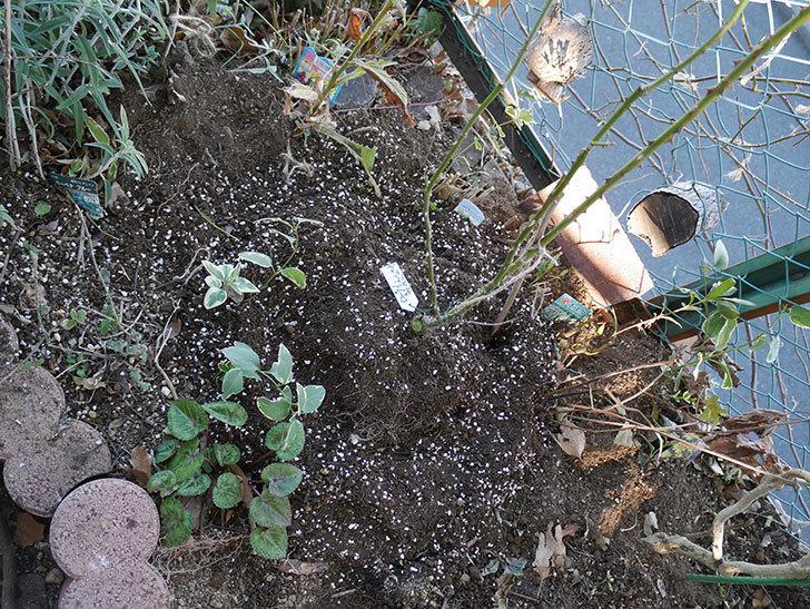 ローズ・ポンパドゥール(Rose Pompadour)を地植えして誘引した。半ツルバラ。2021年-015.jpg