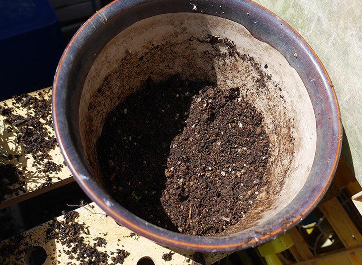ローダンセマム-アフリカンアイズを鉢に植えた。2018年-3.jpg