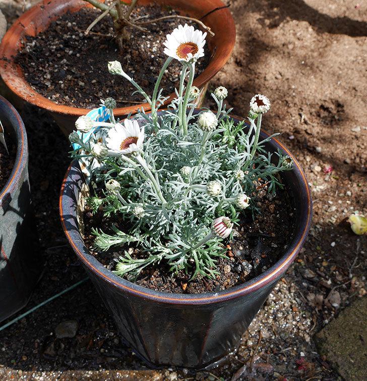 ローダンセマム-アフリカンアイズを鉢に植えた。2018年-4.jpg