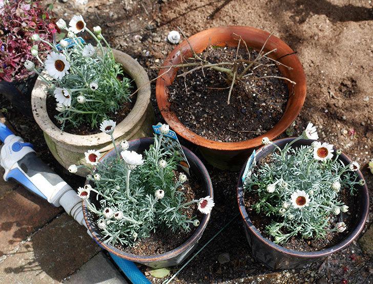 ローダンセマム-アフリカンアイズを鉢に植えた。2018年-7.jpg