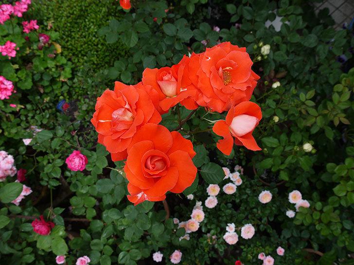 ローラ(木立バラ)がたくさん咲いた。2017年-4.jpg