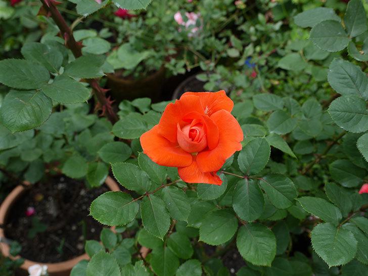 ローラ(木立バラ)がたくさん咲いた。2017年-5.jpg