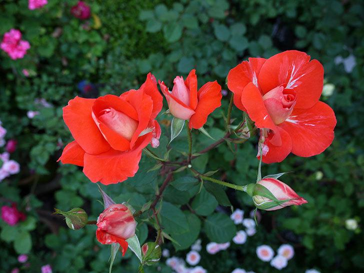 ローラ(木立バラ)がまた咲いた。2017年-1.jpg