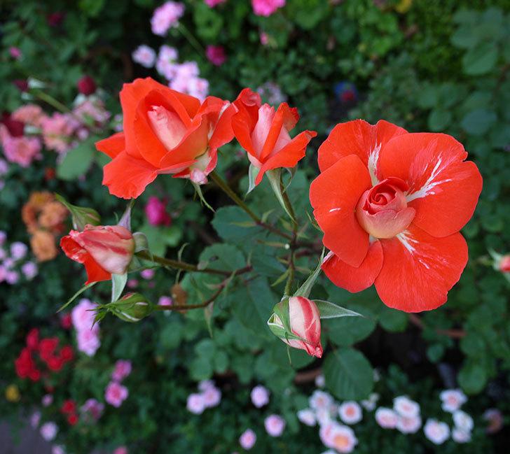 ローラ(木立バラ)がまた咲いた。2017年-6.jpg