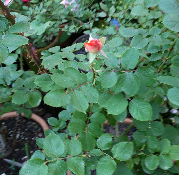 ローラ(木立バラ)がまた咲いた。2017年-7.jpg
