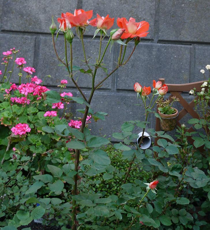 ローラ(木立バラ)がまた咲いた。2017年-8.jpg