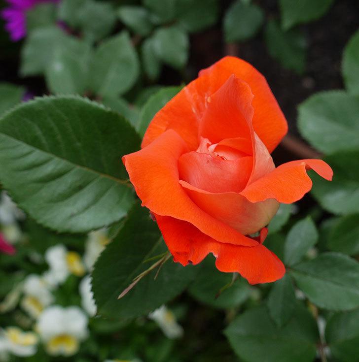 ローラ(木立バラ)が咲いた。2017年-1.jpg