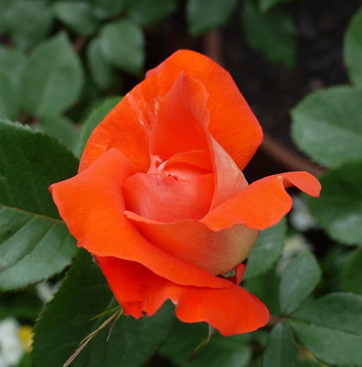 ローラ(木立バラ)が咲いた。2017年-2.jpg