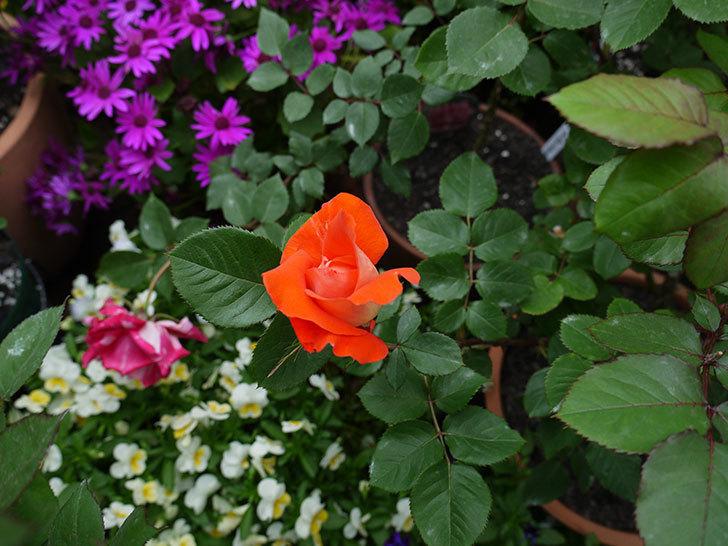 ローラ(木立バラ)が咲いた。2017年-3.jpg