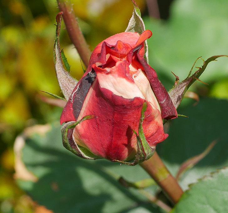ローラ(木立バラ)に蕾が膨らんで来た。2020年-2.jpg