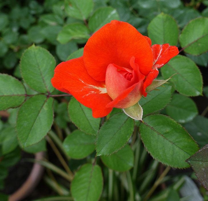 ローラ(木立バラ)の2番花が咲いた。2017年-1.jpg