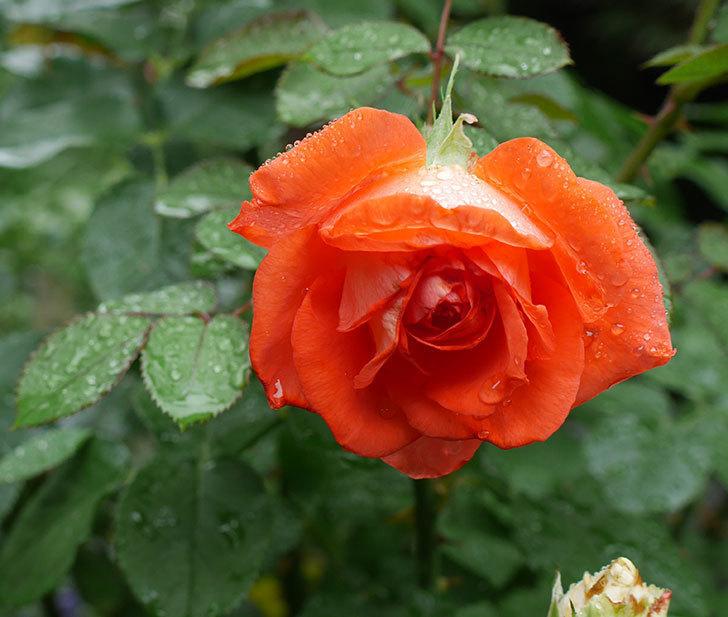 ローラ(木立バラ)の2番花が咲いた。2018年-1.jpg