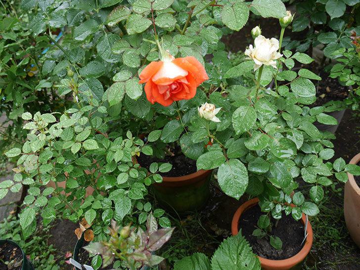 ローラ(木立バラ)の2番花が咲いた。2018年-3.jpg