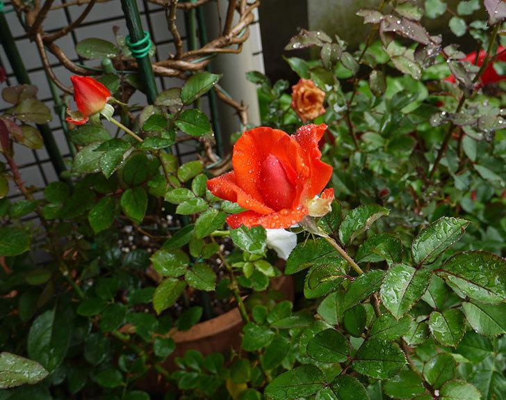 ローラ(木立バラ)の2番花が咲き出した。2016年-3.jpg