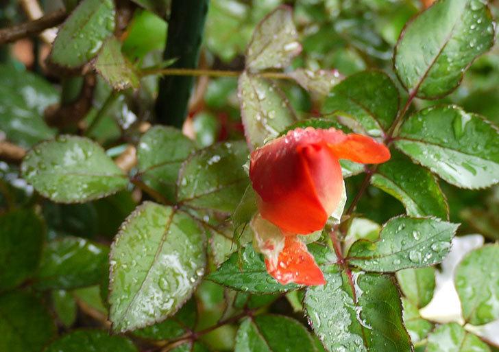 ローラ(木立バラ)の2番花が咲き出した。2016年-4.jpg