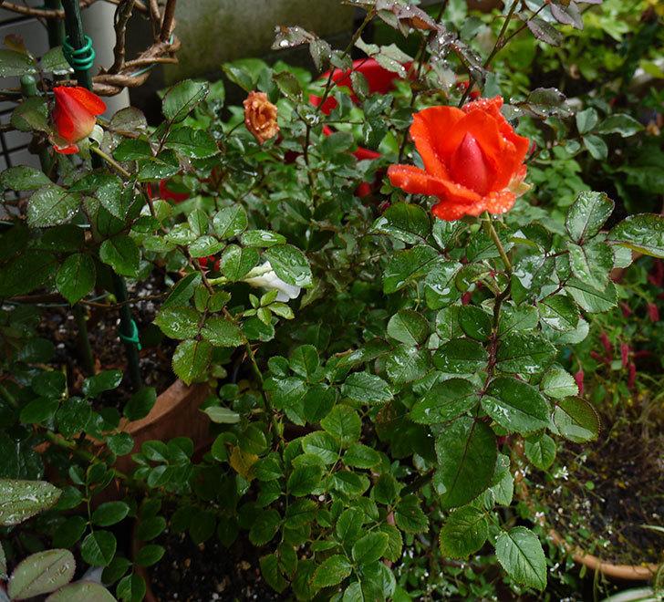 ローラ(木立バラ)の2番花が咲き出した。2016年-5.jpg