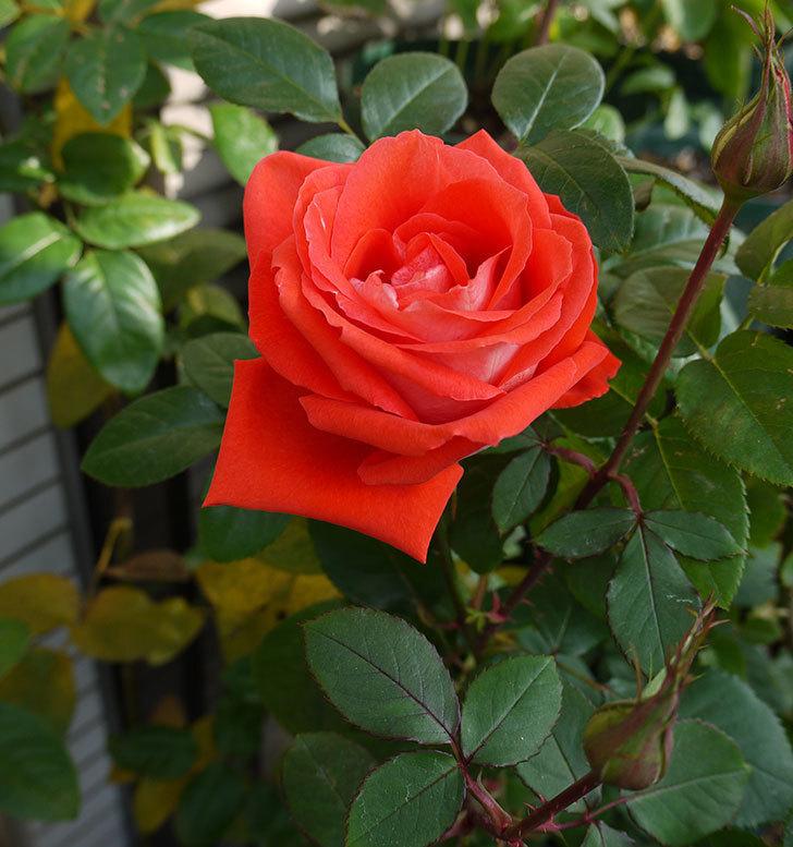 ローラ(木立バラ)のしばらく咲いてなかった秋花のがまた咲いた。2016年-3.jpg