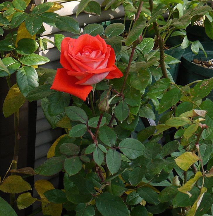ローラ(木立バラ)のしばらく咲いてなかった秋花のがまた咲いた。2016年-5.jpg