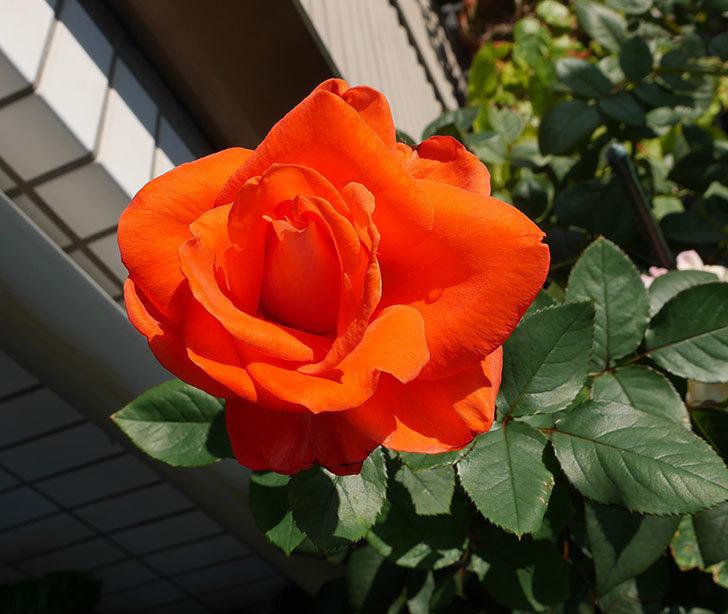 ローラ(木立バラ)の秋花がまた咲いた。2017年-1.jpg