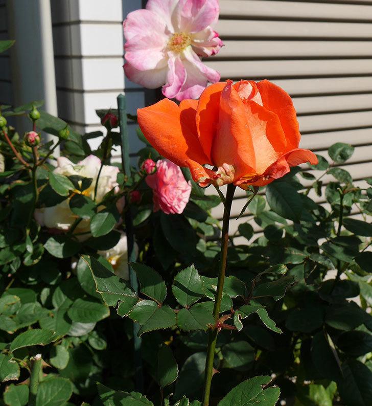 ローラ(木立バラ)の秋花がまた咲いた。2017年-3.jpg